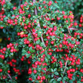Cotoneaster dammeri 'Coral Beauty' (Coral Beauty Cotoneaster)