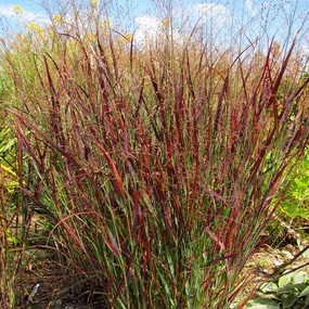 Panicum virgatum 'Blood Brothers' (Blood Brothers Red Switch Grass)