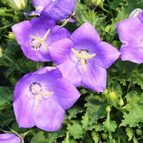 Campanula carpatica 'Pearl Deep Blue' (Carpathian Bellflower)
