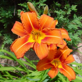 Hemerocallis fulva (Orange Daylily)