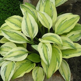 Hosta  'Captain's Adventure' (Captain's Adventure Plantain Lily)