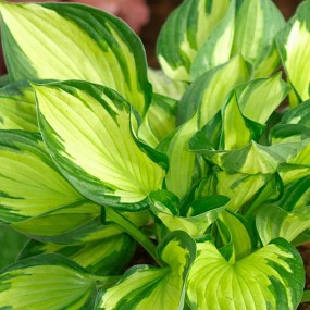 Hosta  'Colored Hulk' (Colored Hulk Plantain Lily)
