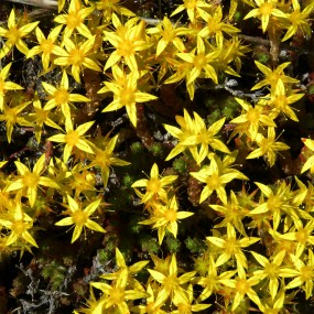 Sedum acre (Golden Stonecrop)
