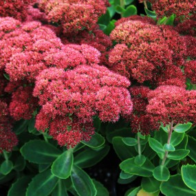 Sedum hybrid 'Autumn Fire' (Autumn Fire Stonecrop)