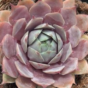 Sempervivum tectorum 'Silverine' (Silverine Hens and Chicks)