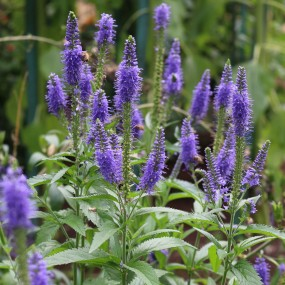 Veronica spicata 'Royal Candles' PP18932 (Royal Candles Speedwell)