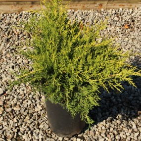 Juniperus chinensis 'Gold Coast' (Gold Coast Juniper)
