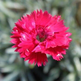 Dianthus hybrida Star™ 'Fire Star' PP14895 (Fire Star Pinks)