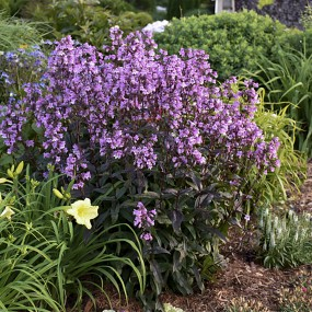 Penstemon hydrid 'Midnight Masquerade' PW PP29603 (Midnight Masquerade Beardtongue)