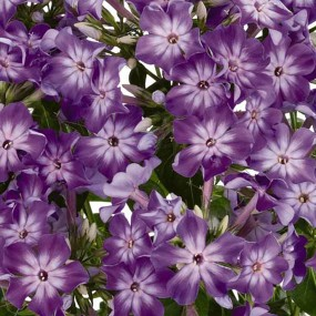 Phlox paniculata Early Start® 'Purple Eye' PPAF (Purple Eye Summer Phlox)