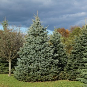 Picea pungens Baby Blue® (Baby Blue® Spruce)